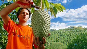 el fruto guanabana